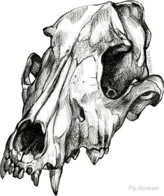 'Canine Skull' Sticker by Pip Abraham - picture for you Horse Skull, Dog Skull, Skull Art, Skeleton Drawings, Skeleton Art, Cool Skull Drawings, Animal Skeletons, Animal Skulls, Animal Skull Tattoos