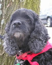 Joe Cocker is an adoptable Cocker Spaniel Dog in Austin, TX. Joe Cocker is on the small side, only 24 pounds, but hes big on love and affection. Hes the perfect size for your lap. He has a beautiful s...
