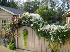 Fall Color   A vigorous, easy-to-grow woody vine, sweetautumn clematis smothers a fence with its profusion of fragrant, white blossoms. Posted by RMSer lark