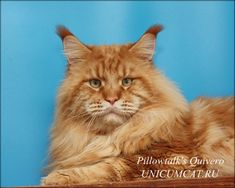 Maine Coon Quivero of Pillowtalks http://www.mainecoonguide.com/health/