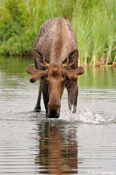 Morton the Moose Moose Pictures, Animal Pictures, Beautiful Creatures, Animals Beautiful, Animals And Pets, Cute Animals, Moose Antlers, Bull Moose, Deer Family