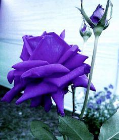 Beautiful Rose Flowers, Most Beautiful, Purple Roses, Butterflies, Landscaping, Gardening, Plants, Color, Art
