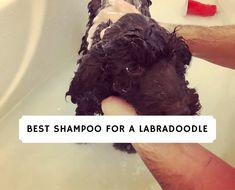 Best Shampoo for a Labradoodle! (2020) 1 F1b Labradoodle, Labradoodles, Best Bark Collar, Designer Dogs Breeds, Puppy Shampoo, Dog Cave, Wireless Dog Fence, Dog Stroller, Love Doodles