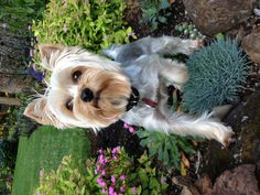 This is Fender my 2 year old Yorkie caught stepping on my plants.