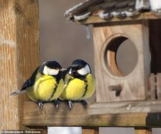 Great tits who meet their future partners earlier in the year are more likely to successfully breed and raise their offspring, a study has concluded. Pictured, a mating pair of great tits