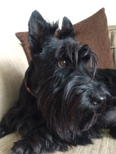 Muriel the magnificent #scottie #scottielove