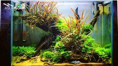 Update of planted aquarium scaped by Frederic Fuss at Kinder and Jugendaquaristik Falkenberg powered by Aquaflora plants. #Aquaflora #Aquascaping #Planted #Aquarium #Aquatic #Plant #Freshwater #aquascape #plantedtank #plantedaquarium