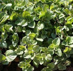 How to Grow Oregano in Your Garden