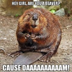 Hey girl, are you a beaver?