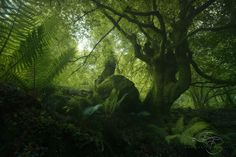 Emerald Forest - A majestic beech taken in the early moring in the amazing Asturian woodlands. If you want to get the chance to capture scene like this take a look to my workshop page here: http://www.enricofossati.it/Workshop  This shot has been realized with Lucroit equpment, if you are interested don't forget that you can get 10%OFF with my Discount Code FOSSATI10.