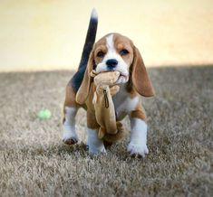 Walking..... #beagle