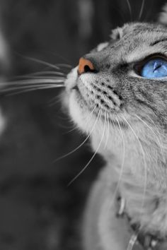 Grey Cat Face with Blue Eyes   Cats and Kittens