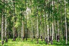 i love the silver birch bark Birch Tree Wallpaper, Forest Wallpaper, Scenery Wallpaper, Wall Wallpaper, Modern Miracles, Betula Pendula, Colorado Ranch, Birch Forest, Ranches For Sale