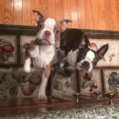 Lilac Lux Dixon & Bella Blue ~ Colored Boston Terriers Baby Puppies, Cute Puppies, Cute Dogs, Boston Terrier Love, Boston Terriers, Lilac French Bulldog, Animals And Pets, Cute Animals, Expensive Dogs