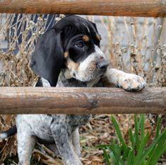 blue tick coonhounds. my next dog. :)