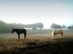 niebla, caballos