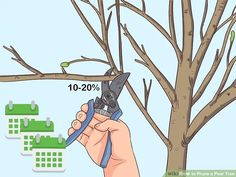 How to Prune a Pear Tree: 12 Steps (with Pictures) - wikiHow Pruning Peach Trees, Tree Pruning, Flowering Pear Tree, Pear Trees, Pear Fruit, Apple Pear, Shade Perennials, Shade Plants, Gardens