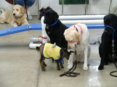 Exposing Puppies to baby goats during Canine Companions Puppy Class in Puget Sound. www.cciseattle.org