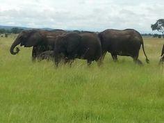 Elephants. Tanzania
