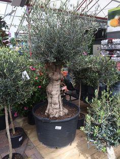 Olivenbaum knorrig bestseller garten olivenbaum for Gartengestaltung olivenbaum