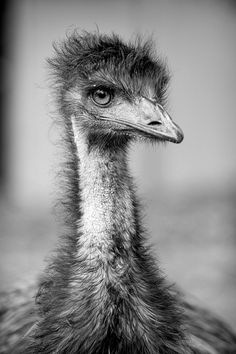 Emu by Stephen A. Wolfe, via Flickr Reptiles, Zoological Garden, Bird People, Ostriches, Australian Animals, All Birds, Bird Pictures, Emu, Animals Of The World