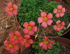 South African Oxalis Five Sorrel Plant, Shamrock Plant, Moss Garden, Rare Plants, Edible Plants, Cactus Y Suculentas, Horticulture, Garden Design, Succulents