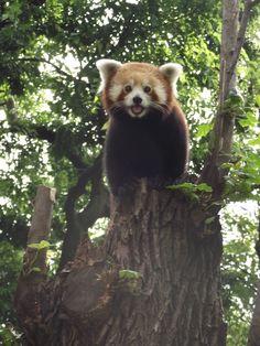 Vörös panda - Red Panda