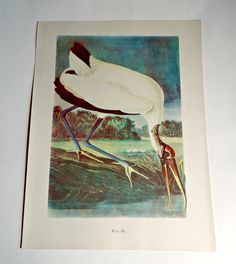 Audubon Bird Print For Framing Wood Ibis Print 1940's Birds of America by treasurecoveally on Etsy