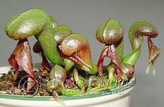 Cobra Lily - Darlingtonia californica
