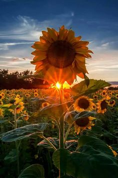 Be like the sunflower, always look for the light