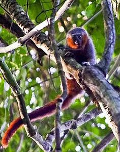 "Prince Bernhard's Titi - Callicebus bernhardi - This member of the family Pitheciidae is endemic to the South American country of Brazil. Its overall length is about 37"" / 93.98 cm, but its tail takes up about 22"" / 55.88 cm. When shown a picture of the New World monkey, locals referred to it as a ""Zog-Zog"""