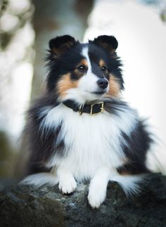 The Shetland Sheepdog originated in the and its ancestors were from Scotland, which worked as herding dogs. These early dogs were fairly Beautiful Dogs, Animals Beautiful, Cute Animals, Blue Merle, Cute Puppies, Dogs And Puppies, Colley, Shetland Sheepdog Puppies, Herding Dogs