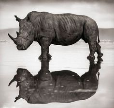 Rinoceronte reflejado en el lago Nakuru de Kenia, fotografía de Nick Brandt