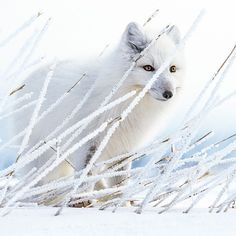 An Arctic Fox stands quietly and patiently in a patch of frost covered grass along the coast of Hudson Bay. Normally in the winter they follow polar bears out onto the sea ice gathering up any left over scraps. During the summer and fall however they have to fend for themselves. Here this adult fox listens carefully for any sounds of a microtine (ie. mouse vole lemming) living beneath the snow. #followme on @paulnicklen to see more of my favorite images from this stunning part of the world…