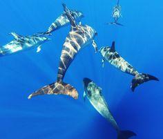 Spotted dolphins - Lobosonda's Blog | Madeira whale watching www.madeirawhalewatching.com