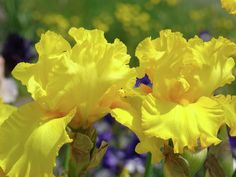 Yellow Iris Flowers Photos | Flower Meanings, Pictures and Photos