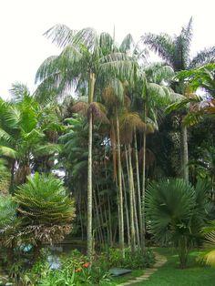 Andando com Formigas: Palmeira Jussara