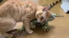 Cute Little Animals, Cute Funny Animals, Cute Cats, Funny Cat Memes, Funny Cats, Beautiful Cats, Animals Beautiful, Gato Gif, Cute Animal Videos