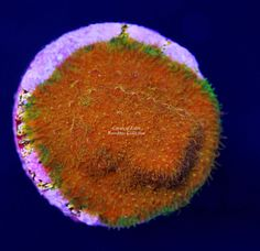 Saler Aquarium Store | Ultra Goni Frags Available Coralust Com Coral Frags For Sale