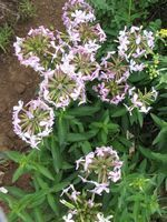 Soapwort for skin issues and shampoo, also grows very well in heat and humidity- a definite plus