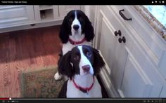 Twisted Sisters, Hope and Rosey, Put Spring in Springer Spaniel