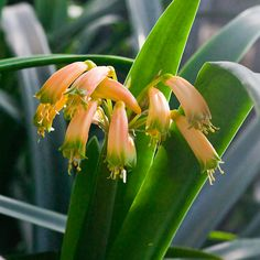 Photographs from Colorado Clivia Company's collection of Clivia robusta and gardenii in bloom during the fall of Colorado, Bloom, Fall, Plants, Number, Image, Pink, Autumn, Aspen Colorado