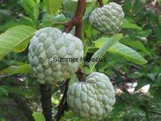 Grow Sugar Apple Fruit Tree - Bing images