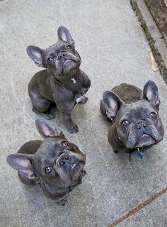 A Trio of Blue French Bulldogs, from Paris.