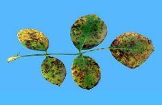 Phragmidium mucronatum p. disciflorum(rugina la trandafir)