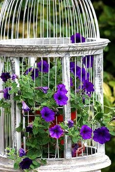 Purple petunias in white bird cage...