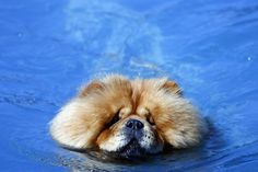 chow chow. The chow is actually unable to swim. Their fur is so thick that when it's wet it gets too heavy and they sink. Many people who didn't know have come home to find their dog at the bottom of the pool. Always watch your chow if you are around water!