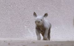 28 Tiny, Tiny Baby Animals That Will Melt Your Heart Tiny Baby Animals, Animals And Pets, Funny Animals, Cute Animals, Baby Donkey, Baby Rhino, Animal Pictures, Cute Pictures, Les Gifs
