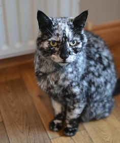Scrappy's unusual markings are down to vitiligo - a skin condition shared with the King of Pop Animals And Pets, Baby Animals, Cute Animals, Warrior Cats, Old Cats, Cats And Kittens, Cute Cats, Funny Cats, Gatos Cat