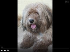 mommy Tibetan Terrier, Dogs, Pets, Animales, Pet Dogs, Doggies